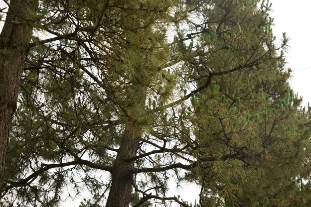草加松原の松