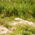 高山植物 谷川岳ロープウェイ