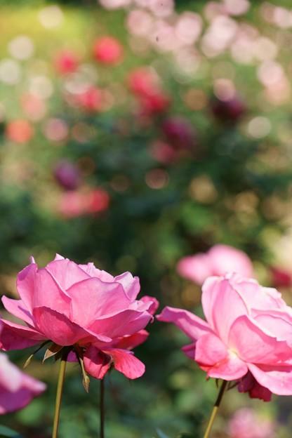 智光山公園薔薇園