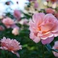 Photos: 智光山公園薔薇園