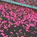 Photos: 浜名湖畔に咲く