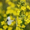 写真: ひらりひらりと春うらら ♪