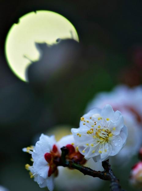 写真: 梅見月