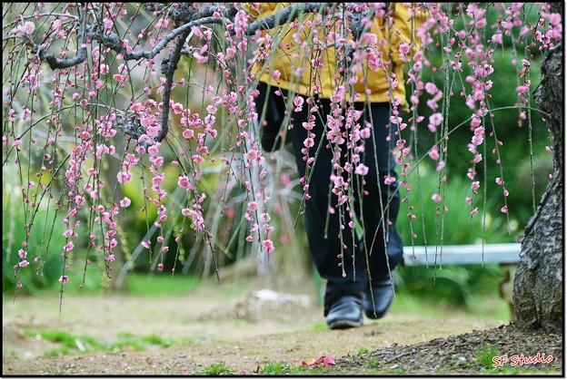 写真: 梅散歩