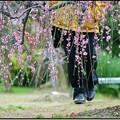 Photos: 梅散歩