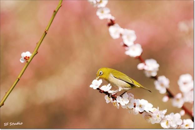 写真: 梅富士にメジロ
