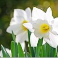 写真: 白い水仙