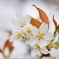 写真: 山桜