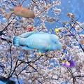 写真: 竜宮城も花の宴