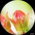 写真: カルミアの小さな花芽