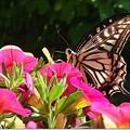 写真: 蝶々