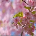 Photos: 桜雲