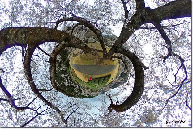 Photos: 桜の精