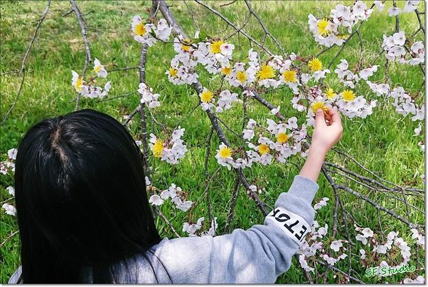 Photos: タンポポ桜