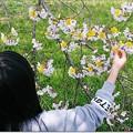タンポポ桜