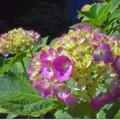 "Photos: ピンホール写真 ""紫陽花"""