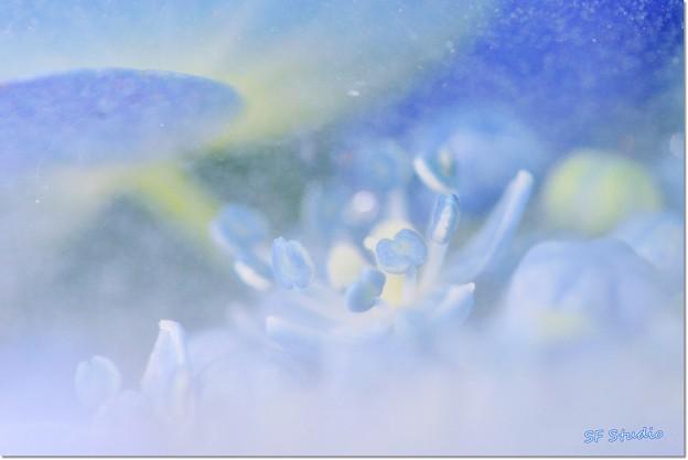 "Photos: クモの巣フィルター ""紫陽花の蕊"""