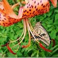 蝶のくちづけ