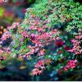 五色の紅葉