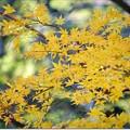 Photos: 黄色い紅葉