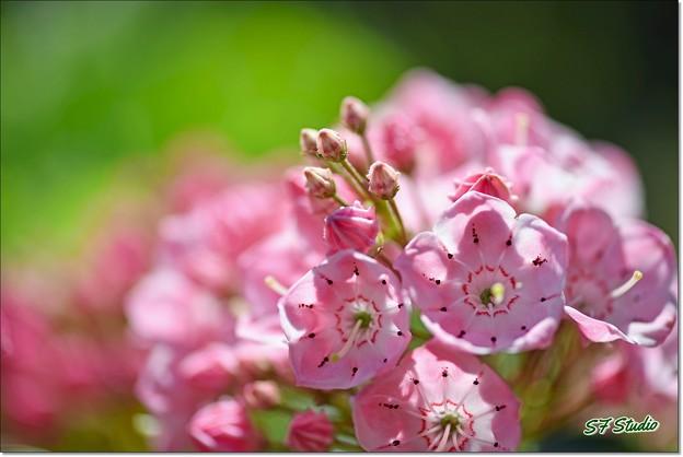 ピンクのカルミア