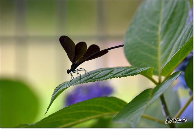 紫陽花にハグロトンボ