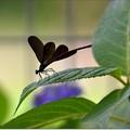 Photos: 紫陽花にハグロトンボ