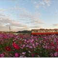 Photos: コスモス列車