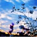 夜明けの秋桜
