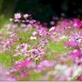 Photos: 秋桜の園