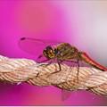 Photos: 赤蜻蛉