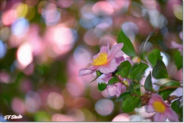 Photos: 山茶花の楽園