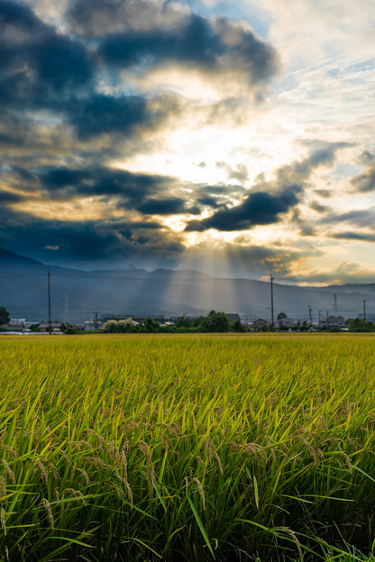 写真: お彼岸の田んぼ