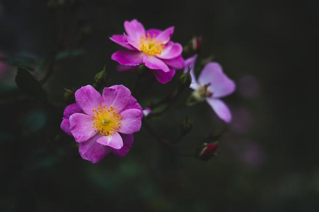 写真: バラ2