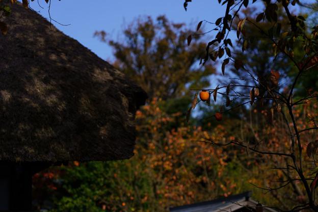 古民家スナップ191117 柿の木