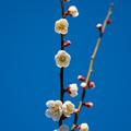 Photos: 梅の花1