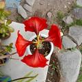 写真: アマリリスの花-04