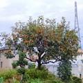 柿が豊作-01