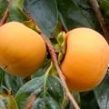 柿が豊作-03