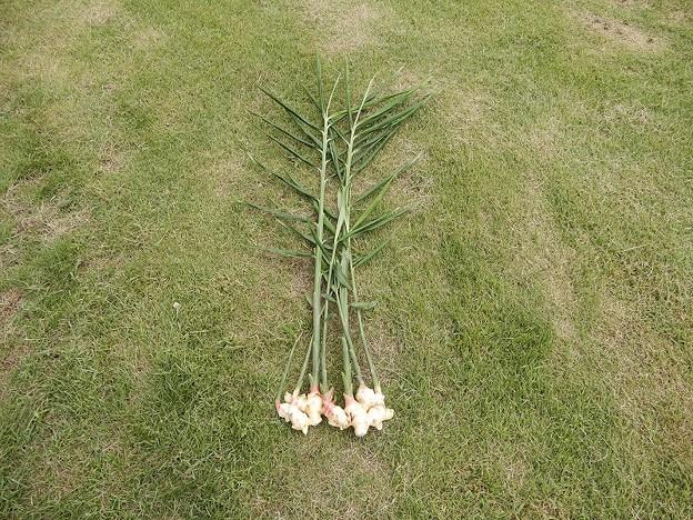 しょうが初収穫-03-1