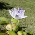 ホテイ草の花-04