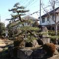 松の手入れ-04