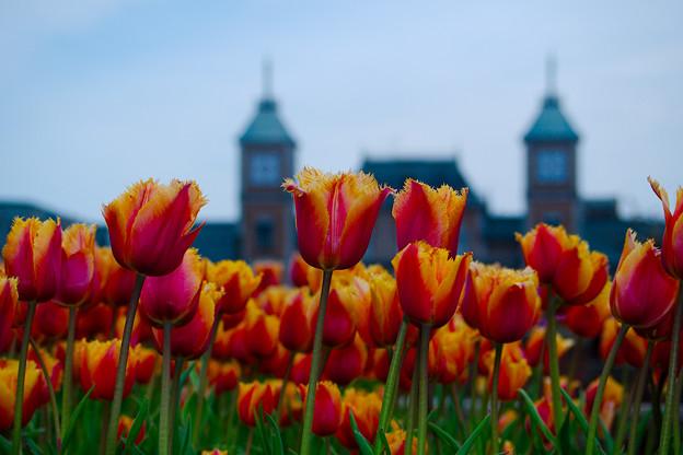 ホテルの前で咲くチューリップ
