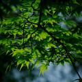 写真: 輝く新緑