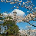 Photos: 桜と鉄塔