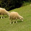 食欲旺盛な羊