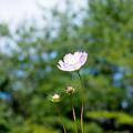 優しく咲いたコスモス