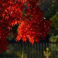 Photos: 紅葉したモミジ