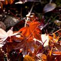 Photos: 紅葉した落ち葉