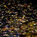Photos: 池の星屑